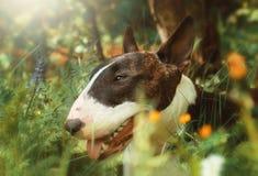 Терьер быка собаки в цветках Стоковые Изображения RF