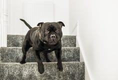 Терьер быка Стаффордшира бежать вниз с лестниц с ковром Стоковые Изображения RF