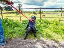 Терьер быка Стаффордшира вытягивая на проводке смотря лошадь Стоковое фото RF
