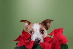 Терьер Джека Рассела с цветками Валентайн дня s Стоковые Фото
