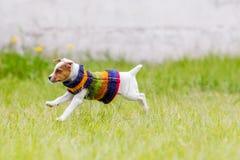 Терьер Джека Рассела скача счастливо Стоковая Фотография RF
