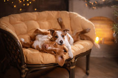 Терьер Джека Рассела собаки и Retriever утки Новой Шотландии собаки звоня Счастливый Новый Год, рождество, любимчик в комнате tre стоковое фото