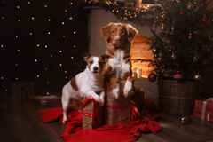 Терьер Джека Рассела собаки и Retriever утки Новой Шотландии собаки звоня Счастливый Новый Год, рождество Стоковая Фотография RF