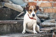 Терьер Джека Рассела собаки сидя на серых конкретных шагах разрушенного здания стена кирпича предпосылки старая Стоковое Изображение RF
