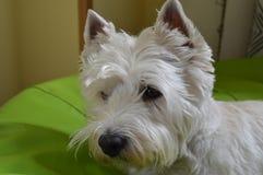 Терьер западной гористой местности белый на сигнале тревоги Westy Природа, собака, любимчик, портрет Стоковое Изображение