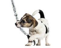 Терьер играя с веревочкой, 4 месяца Джека Рассела щенка старого Стоковые Изображения RF