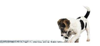 Терьер играя с веревочкой, 4 месяца Джека Рассела щенка старого Стоковое Фото