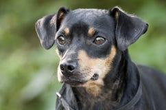 Терьер Манчестера миниатюрного Pinscher смешал фото принятия собаки породы Стоковая Фотография RF