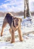 Терьер Airedale играя на снеге Стоковые Фотографии RF