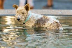 Терьер Fox купая в фонтане Стоковое Фото