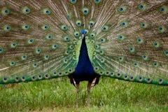 тесемка павлина голубого цветастого пера полная Стоковые Изображения