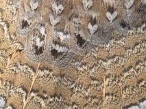 Тетеревиные Ruffed оперяются предпосылка картины природы Стоковое Фото