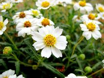 Техас упрощает wildflower маргаритки Черноногего стоковое фото