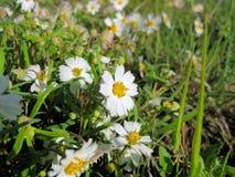 Техас упрощает wildflower маргаритки Черноногего стоковое изображение
