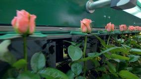 Технологическая линия парника вполне равномерных розовых роз видеоматериал