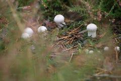 Тела плодоовощ perlatum Lycoperdon, популярно известные как общий puffball Стоковые Фотографии RF