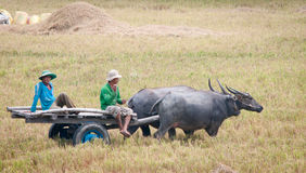 Тележка вола на неочищенных рисах field в Вьетнаме Стоковые Изображения