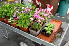 Тележка вполне цветков в магазине или парке сада в горшке заводы для засаживать в открытой земле Стоковые Изображения
