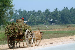 Тележки вола отбуксированные в поле Мьянмы Стоковая Фотография