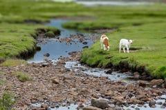 Телится ландшафт scottish зеленой травы Стоковое Фото
