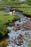 Телится вода Шотландия зеленой травы Стоковая Фотография RF