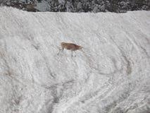 Телка на заплате снега стоковая фотография