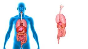 Тело с органами бесплатная иллюстрация