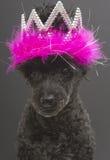 Тиара с пер на собаке стоковая фотография rf