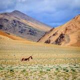 тибетец ишака одичалый Стоковая Фотография