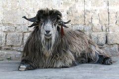 тибетец козочки редкий стоковое изображение rf