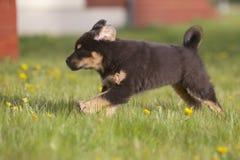 тибетец щенка mastiff Стоковое Фото