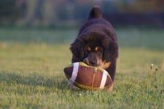 тибетец щенка mastiff Стоковые Фото