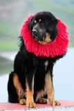 тибетец mastiff Стоковые Изображения RF