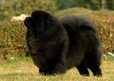 тибетец mastiff стоковое изображение