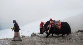 Тибет, пропуск Ла kamba, август 2010 - тибетская женщина в национальных одеждах с ее яками Стоковая Фотография RF