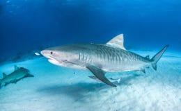 Тигровая акула на Багамских островах стоковые изображения rf