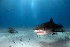 Тигровая акула Стоковая Фотография