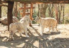 тигры белые Стоковое Фото
