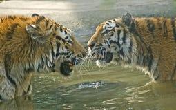тигры Бенгалии Стоковое Изображение