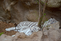 тигры белые стоковые изображения