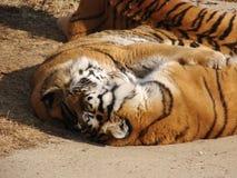 тигры влюбленности Стоковое Изображение