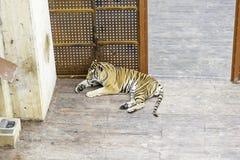 Тигры в зоопарке Стоковые Изображения RF