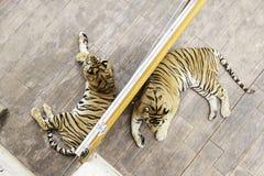 Тигры в зоопарке Стоковое Изображение