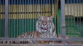 Тигры в клетке, подавая тигры Амура акции видеоматериалы