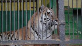 Тигры в клетке, подавая тигры Амура видеоматериал