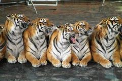 Тигры в цирке Стоковые Фотографии RF