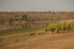 Тигры и озеро Rajbagh Стоковое Фото