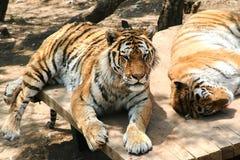 Тигры отдыхают Стоковая Фотография
