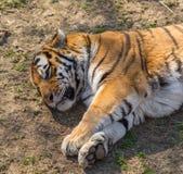 Тигры спать Стоковая Фотография RF