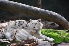 тигры Стоковое фото RF